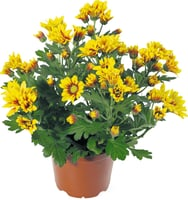 Chrysanthemen Indicum 12cm