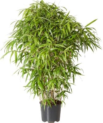 bambus pseudosasa japonica 10l migipedia. Black Bedroom Furniture Sets. Home Design Ideas