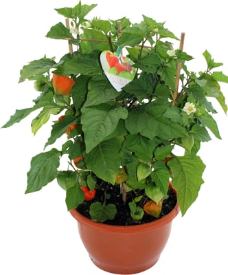 physalis franchetii 13cm migros. Black Bedroom Furniture Sets. Home Design Ideas