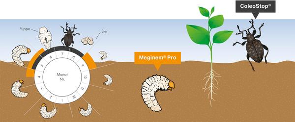 Andermatt Biogarten Coleostop nematodi contro l'oziorrinco, per 4m² Organismi utili