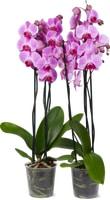 Phalaenopsis con 3 steli, 2 pezzi