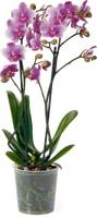 Phalaenopsis multiflora, 2 Rispen