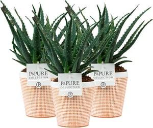 Aloe Arborescens im Luca Übertopf (3er Set) Ø12cm