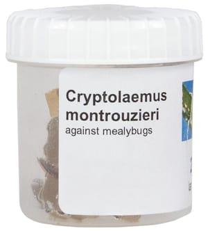 Cryptolaemus larve di coccin., 20-25pz