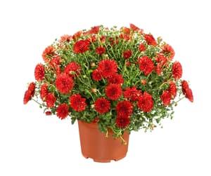 Chrysanthemen in diversen Farben Ø18cm