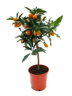 Alberello di kumquat Citrus japonica Ø20cm