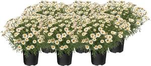 Margeriten Argyranthemum Frutescens (6er Set) Ø14cm