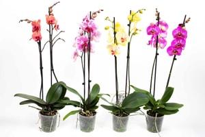 Schmetterlingsorchidee Phalaenopsis Farbenmix (4er Set) Ø12cm