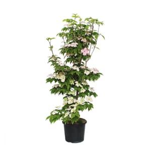 Blumen-Hartriegel Cornus Kousa 7.5l