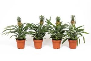Ananas Pflanze Mi Amigo (4er Set) Ø12cm