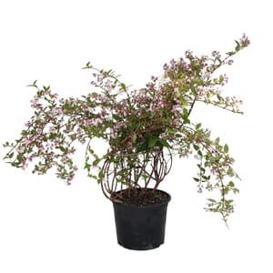 Deutzie Deutzia Kalmiiflora 5l