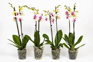 Schmetterlingsorchidee Phalaenopsis Weiss-gefleckt (4er Set) Ø12cm