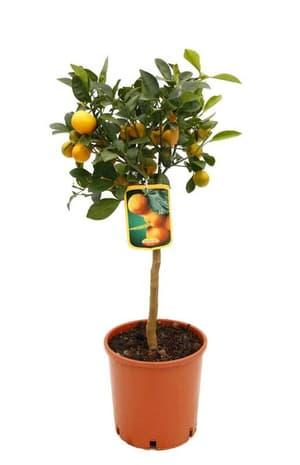 Alberello di calamondino Citrus microcarpa Ø20cm