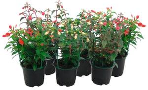 Fuchsien Fuchsia (6er Set) Ø12cm