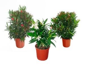 Arbusto di oleandro in mix di colori (set da 3) Ø17cm