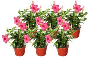 Arbusto di Dipladenia Mandevilla 'Bella' (set da 6) Ø14cm