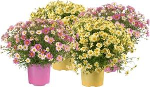 Margeriten Argyranthemum Farbenmix (4er Set) Ø18cm