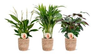 Air So Pure Zimmerpflanzen Mix im Übertopf (3er Set) Ø12cm