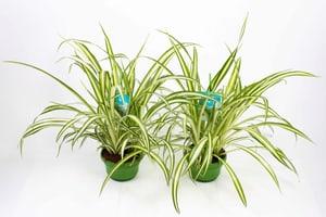 Grünlilie Chlorophytum Ampel (2er Set) Ø14cm
