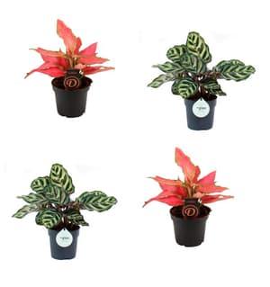 Combinazione di piante tropicali da appartamento (set da 4) Ø 12 cm