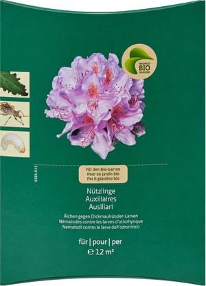 Organismi utili Anguillule/nematodi per combattere le larve di oziorinco