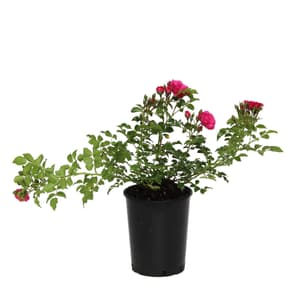 Bodendeckerrose Heidetraum 3.5l
