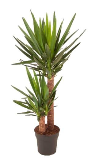 Palmier yucca, Ø 21cm