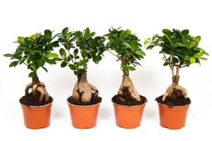 Ficus Ginseng (4er Set) Ø12cm