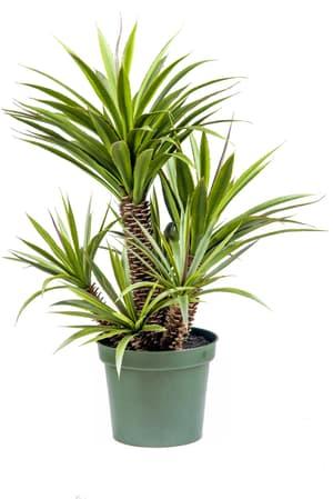 Kunstpflanze Sukkulente Star/Aloe Ferox