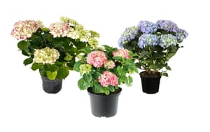 Hortensien Hydrangea Farbenmix (3er Set) Ø18cm