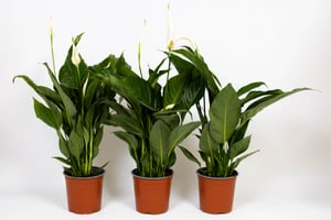Blattfahne Spathiphyllum Vivaldi (3er Set) Ø17cm