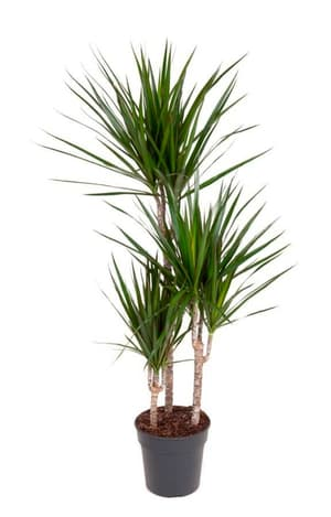 Drachenbaum Dracaena Marginata Ø21cm
