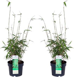 Bambù Fargesia rufa (Set da 2) Ø 19 cm