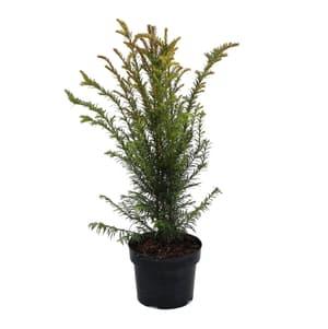 Tasso Taxus Baccata 3l