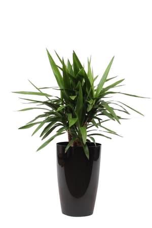 Yucca in coprivaso Ø29cm