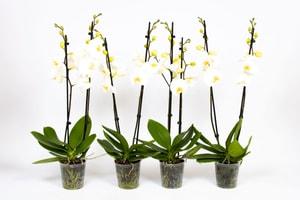 Schmetterlingsorchidee Phalaenopsis Weiss (4er Set) Ø12cm