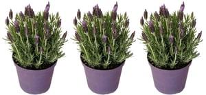 Lavendel Lavandula Stoechas (3er Set) Ø18cm