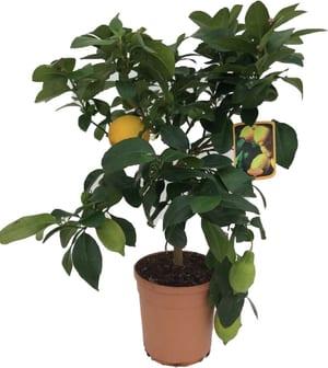 Alberello di limone Citrus limon Ø20cm