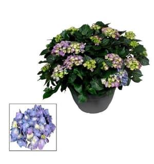Ortensia Hydrangea macrophylla Ø30cm