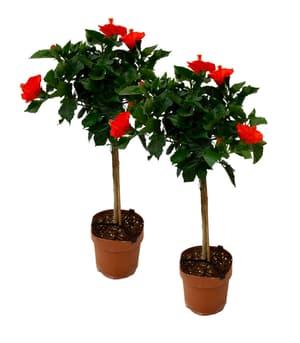 Hibiskus Stamm Rosa-sinensis (2er Set) Ø17cm