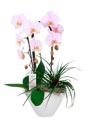 Schmetterlingsorchidee Phalaenopsis Arrangement Ø21cm