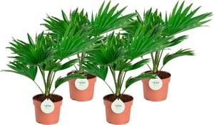 Palma a ventaglio Livistona Rotundifolia (set da 4) Ø12cm