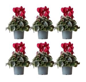 Cyclamen d'intérieur Persicum rouge (lot de 6) Ø13cm