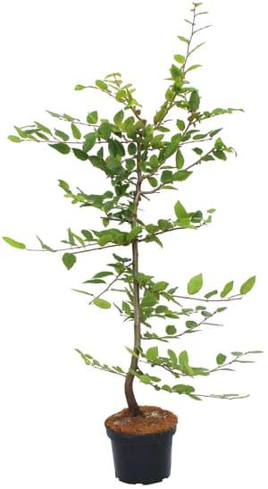 Hainbuche Carpinus Betulus 3l