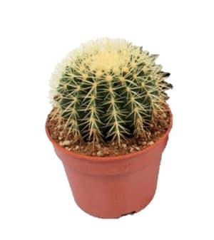 Goldkugelkaktus Echinocactus Grusonii (2er Set) Ø17cm