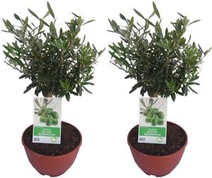 Oliven Stamm Olea Europea (2er Set) Ø25cm