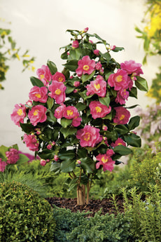 Camellia japonica in Sorten 17cm