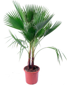 Washingtonia Tuff