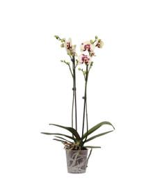 Phalaenopsis 2 Pousses Spécial