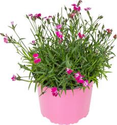 Dianthus Kahori 12cm